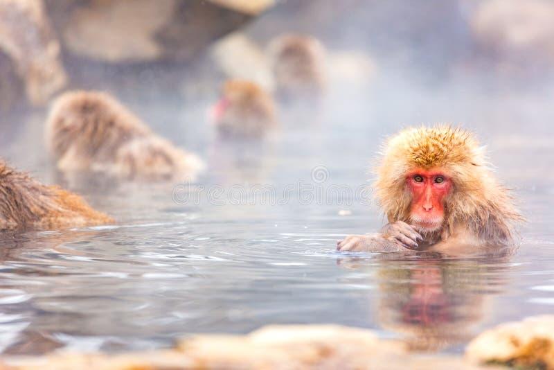 Snow monkey bathe in hot spring. Snow monkey, Japanese macaque bathe in onsen hot spring at Jigokudani wild snow monkey park in Nagano Japan stock photo