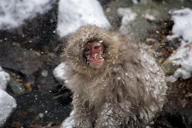 Snow monkey braces against a snowstorm. A Japanese Macaque, or snow monkey, braces against a cold wind in a snowstorm on a mountainside in Nagano, Japan. These stock images