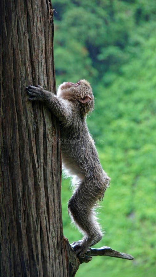 Snow monkey climbing up a tree in Jigokudani, Japan stock photo