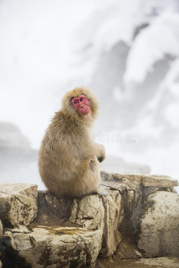 Snow Monkey Curiosity royalty free stock photography