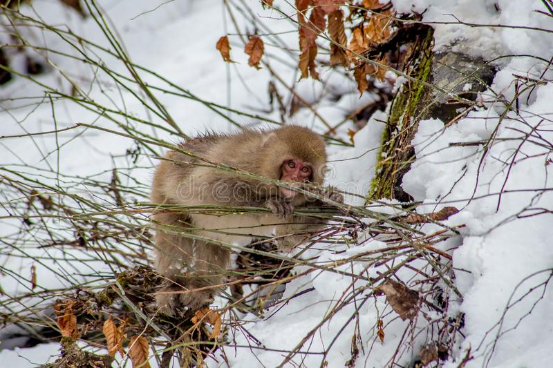 Snow Monkey eating branches in winter. A Japanese Macaque, or snow monkey, eats small green branches outside the Jigokudani Monkey Park in Nagano Prefecture royalty free stock images