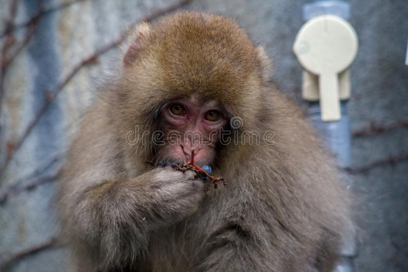 A snow monkey eats berries behind an inn. A young snow monkey sits behind an inn in Yamanouchi, Nagano, Japan. The monkeys live in the mountains, but often come royalty free stock images