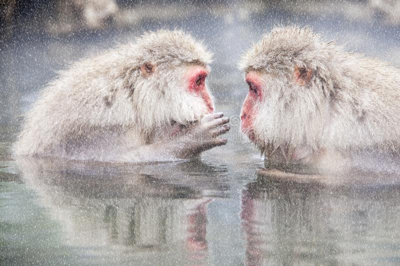 Download Snow Monkey At The Edge Of The Hot Spring Pool Onsen At Jigoku Stock Image - Image of macaque, japanese: 108999069