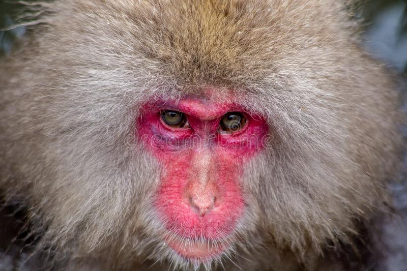 Snow Monkey face close up. An adult Japanese Macaque, or snow monkey, stares into the camera while being groomed in a hot spring. These monkeys are the northern stock photos