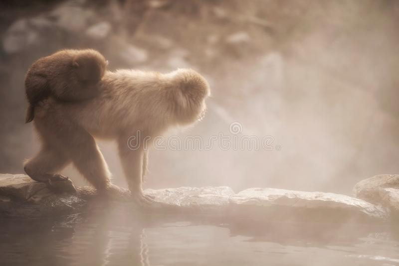 Snow monkey family in Jigokudani park at sunset. Japanese Snow monkey Macaque family with hot water steam at sunset in hot spring Onsen of Jigokudani Park stock photo
