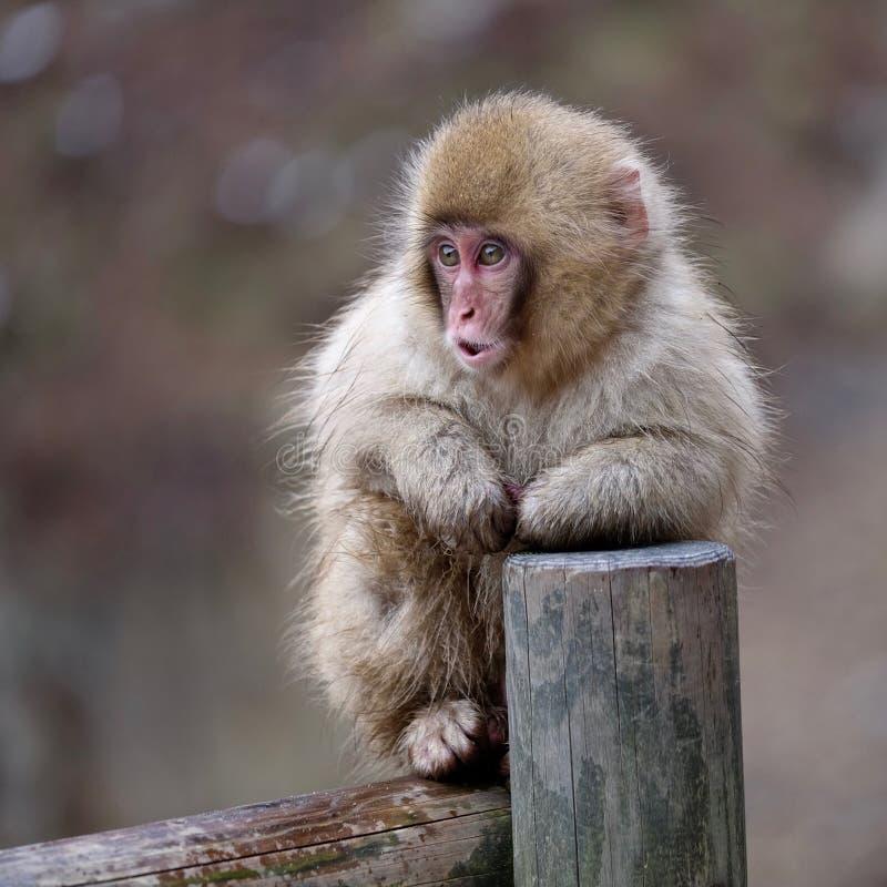 Snow Monkey on fence. Jigokudani Monkey Park. Nagano. Japan royalty free stock image
