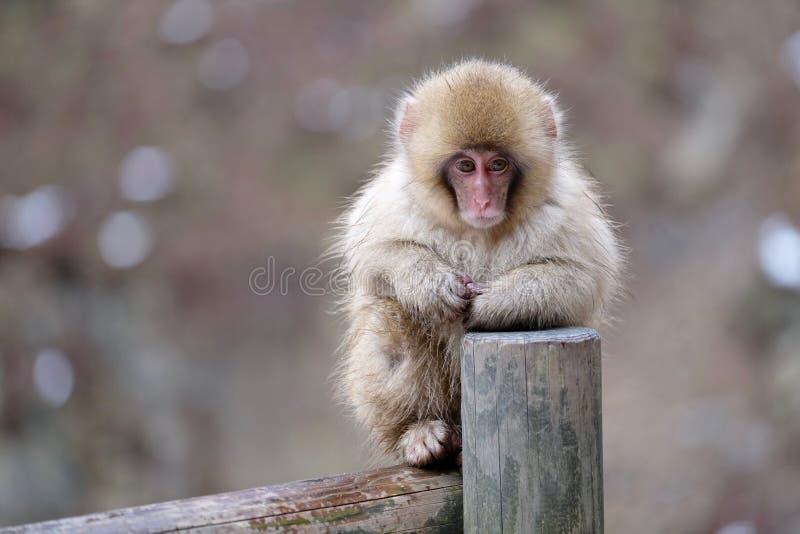 Snow Monkey on fence. Jigokudani Monkey Park. Nagano. Japan royalty free stock images