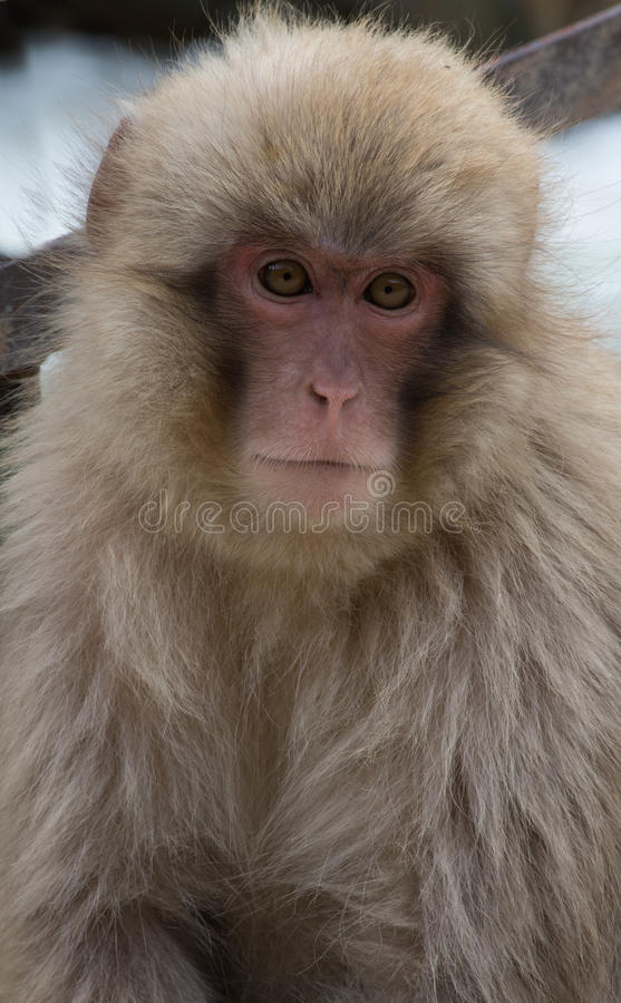 Snow Monkey Gazing at the Camera. Close up of a young snow monkey or Japanese macaque gazing at the camera. Photographed with shallow depth of field royalty free stock image