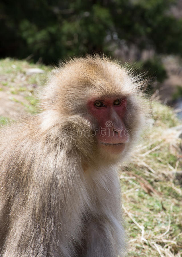 Snow Monkey is Green Field. Close up of a snow monkey or Japanese macaque sitting in a field. Photographed with shallow depth of field royalty free stock photo