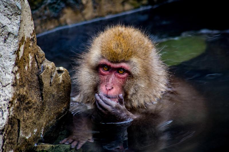 Snow monkey in the hot spring. A Japanese Macaque, or snow monkey, rests in a natural hot spring stock photos