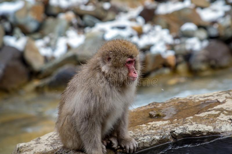 Snow monkey beside the hot spring. A Japanese Macaque, or snow monkey, sits on the edge of a natural hot spring in the mountains of Nagano, Japan. These monkeys royalty free stock photography