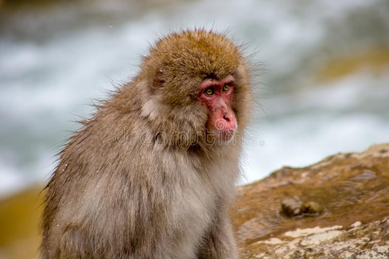 Snow monkey beside the hot spring. A Japanese Macaque, or snow monkey, sits on the edge of a natural hot spring in the mountains of Nagano, Japan. These monkeys stock images
