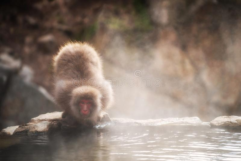 Snow monkey at hot spring in Jigokudani park. Japanese Snow monkey Macaque drink hot water steam during sunset in hot spring Onsen of Jigokudani Park, Yamanouchi royalty free stock photography