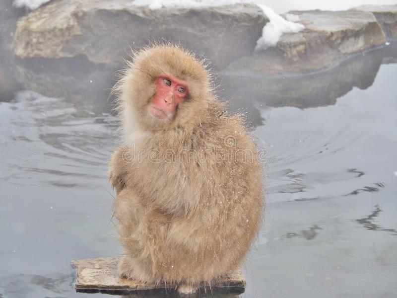 Snow monkey at hot spring. Portrait of a Japanese macaque snow monkey in hot spring onsen at Jigokudani Monkey Park in Nagano prefecture, Japan royalty free stock image