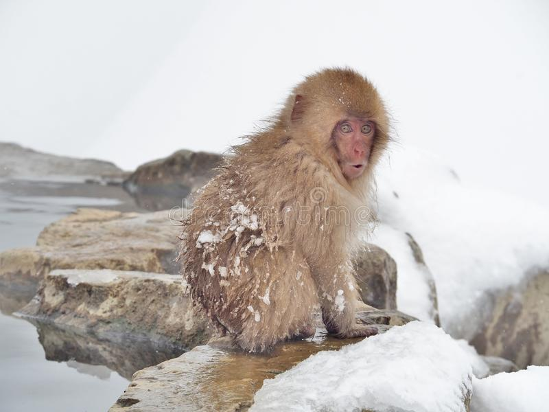 Snow monkey at hot spring. Portrait of a Japanese macaque snow monkey with surprise face in hot spring onsen at Jigokudani Monkey Park in Nagano prefecture stock images