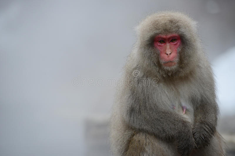 Snow monkey. With hot springs in nagano royalty free stock image