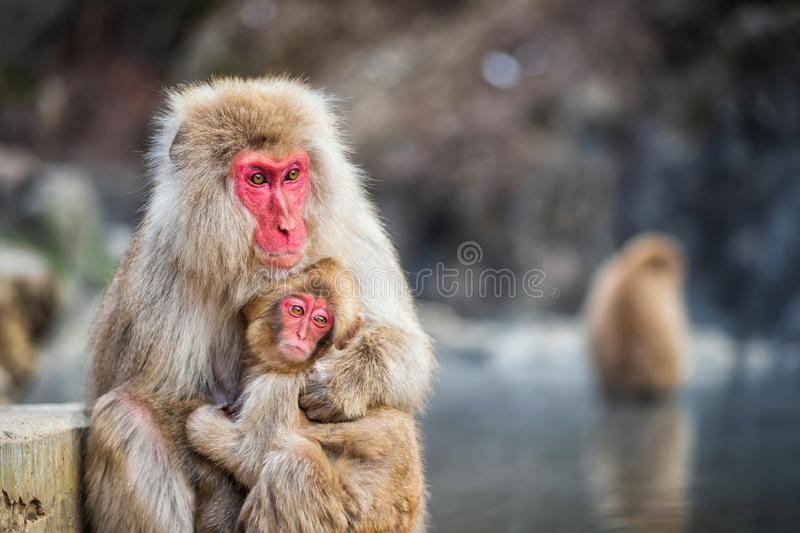 Snow monkey hug at Jigokudani Park royalty free stock photos