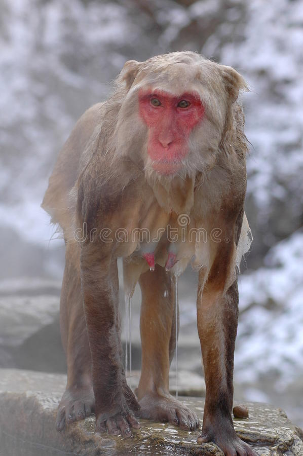 Free Snow Monkey In Onsen Royalty Free Stock Image - 39146786