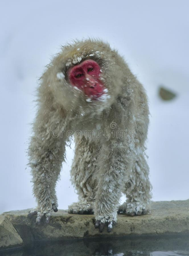 Snow monkey. The Japanese macaque, also known as the snow monkey. royalty free stock photo