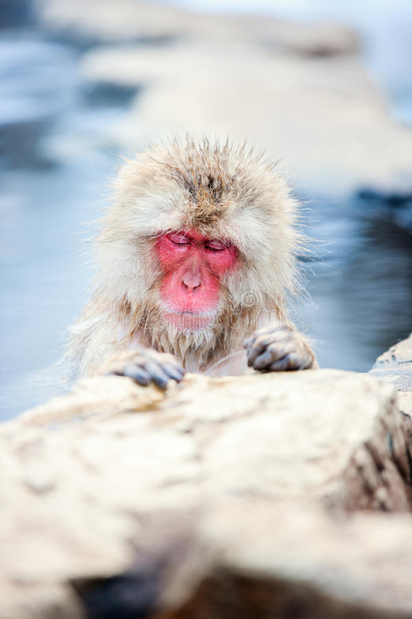Snow Monkey. Japanese Macaque bathe in onsen hot springs of Nagano, Japan royalty free stock photography