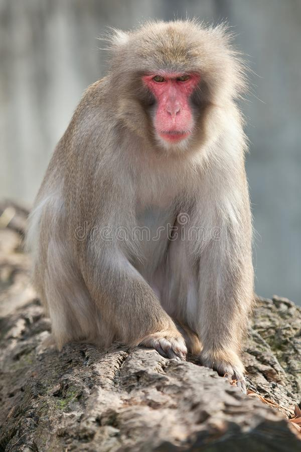 A snow monkey Japanese Macaque cuddling her baby near a warm spring royalty free stock photos
