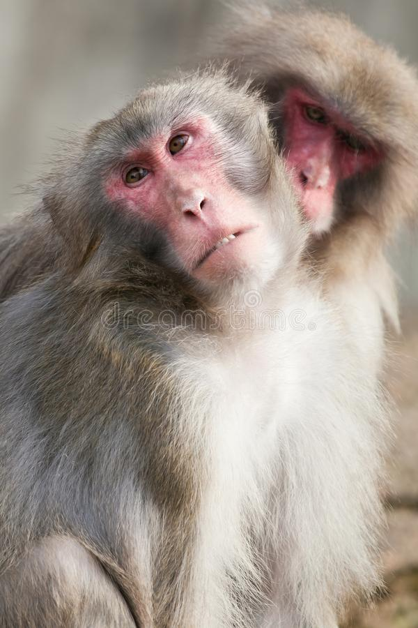 A snow monkey Japanese Macaque cuddling her baby near a warm spring stock image