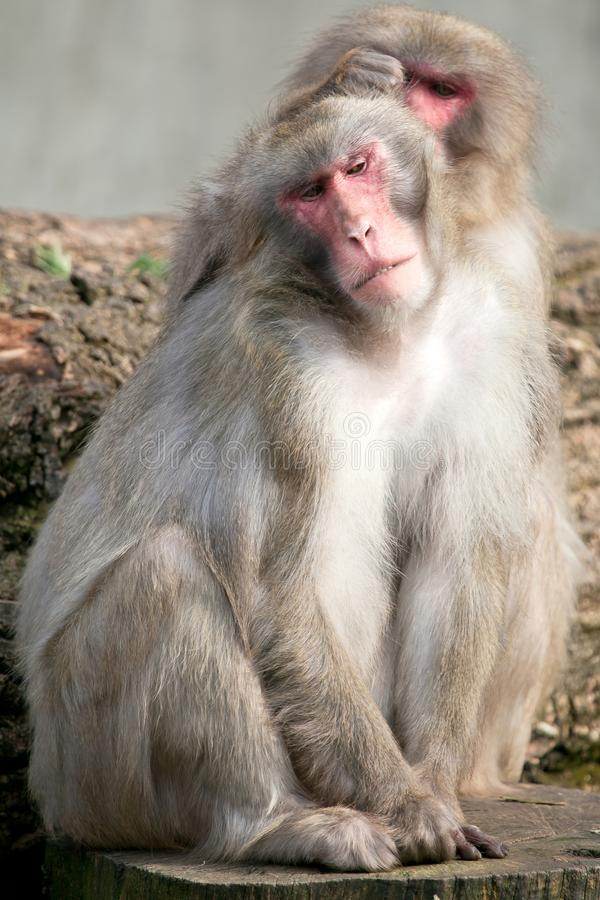 A snow monkey Japanese Macaque cuddling her baby near a warm spring stock images