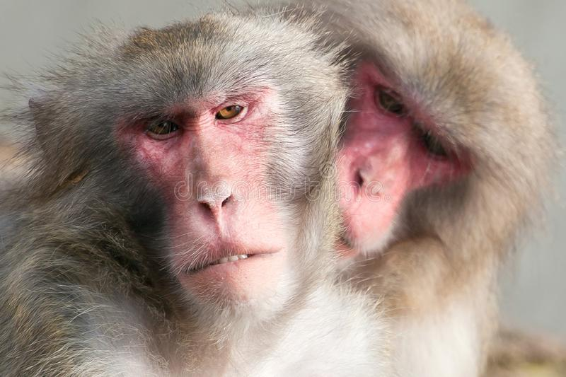 A snow monkey Japanese Macaque cuddling her baby near a warm spring stock photo