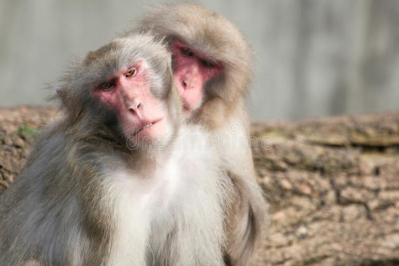 A snow monkey Japanese Macaque cuddling her baby near a warm spring stock photos