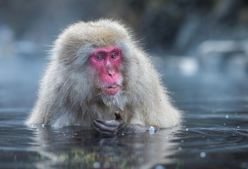 Snow monkey or Japanese Macaque in hot spring onsen stock photo