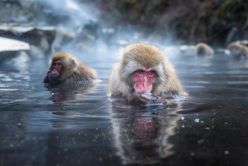 Snow monkey or Japanese Macaque in hot spring onsen.  royalty free stock photo