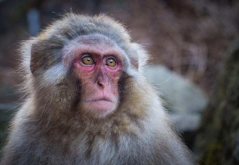 Snow monkey or Japanese Macaque in hot spring onsen.  stock photos