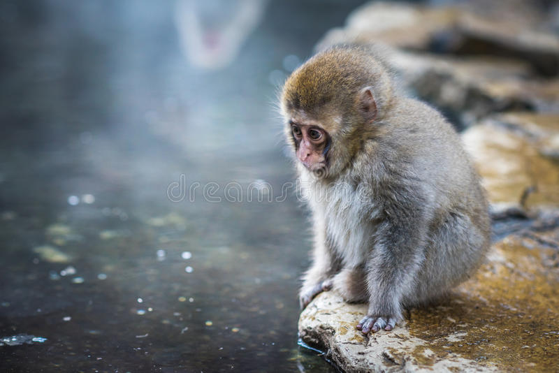 Snow monkey or Japanese Macaque in hot spring onsen.  royalty free stock photos