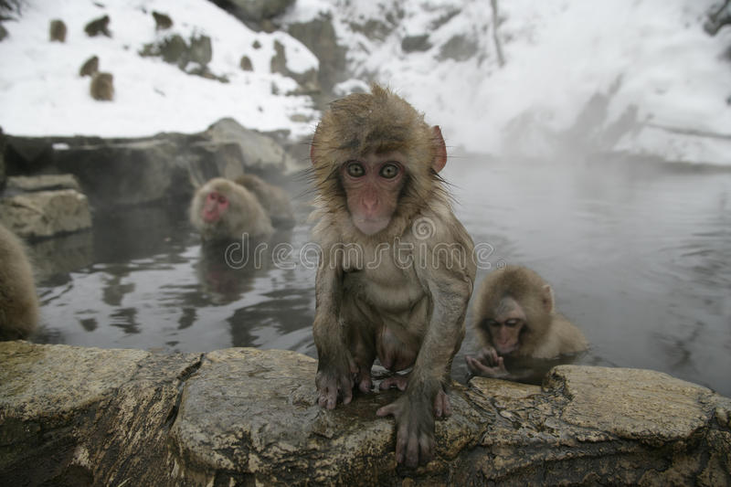 Snow monkey or Japanese macaque, Macaca fuscata. Group mammals in water, Japan royalty free stock images