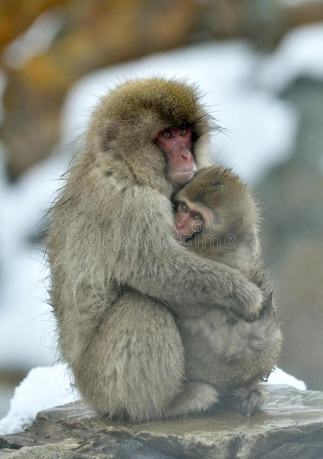 Snow monkey wiyh cub. The Japanese macaque. royalty free stock photo