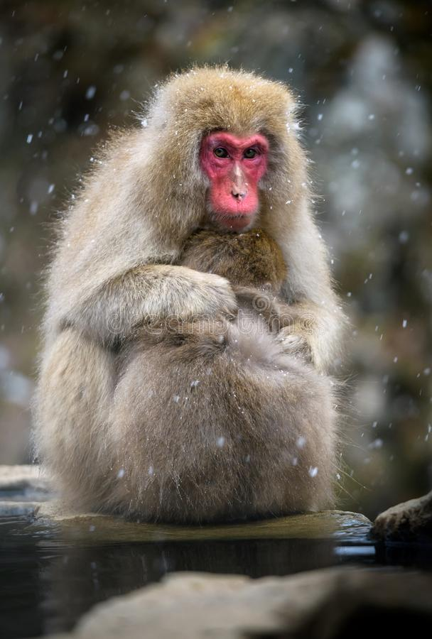 Snow monkey Japanese Macaque in a snowstrom, Jigokudani Monkey. Snow monkey Japanese Macaque in a snowstrom, Nagano, Japan royalty free stock photography