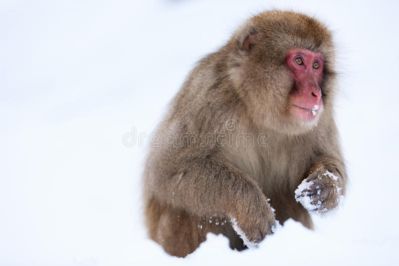 Snow Monkey. Japanese Macaque on snow at winter in Nagano, Japan stock images