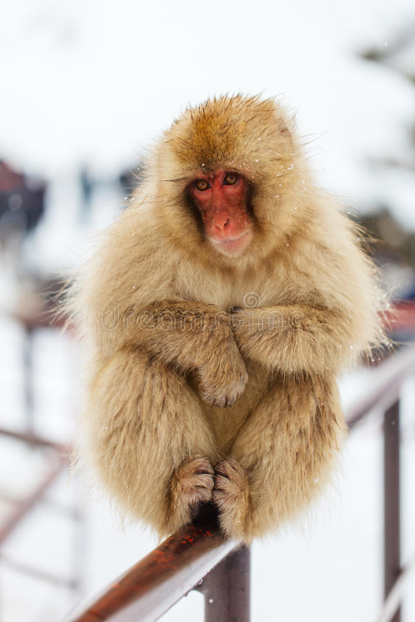 Snow Monkey. Japanese Macaque on snow at winter in Nagano, Japan royalty free stock image