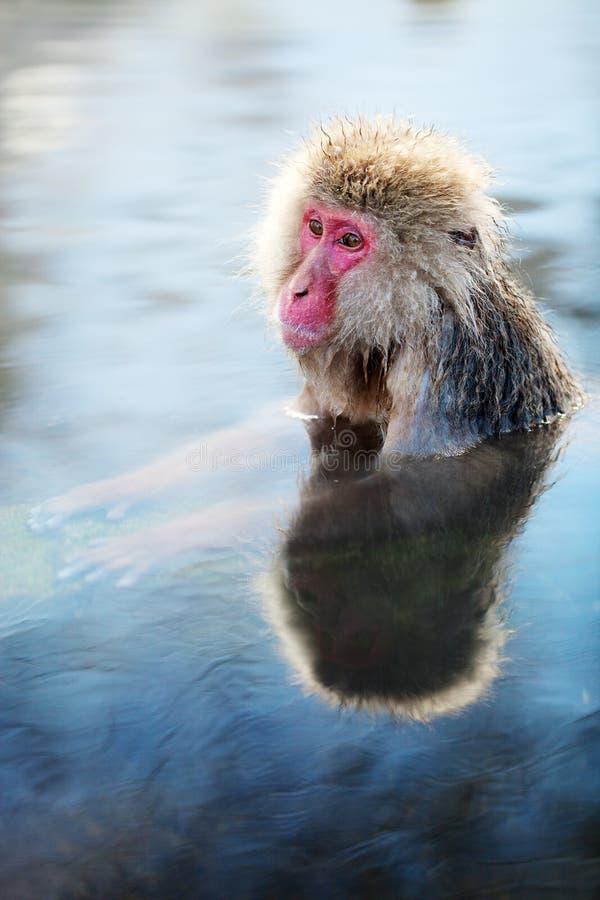 Snow Monkey. Japanese Macaques bathe in onsen hot springs at Nagano, Japan stock images