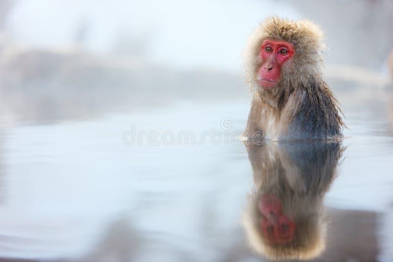 Snow Monkey. Japanese Macaques bathe in onsen hot springs at Nagano, Japan royalty free stock images