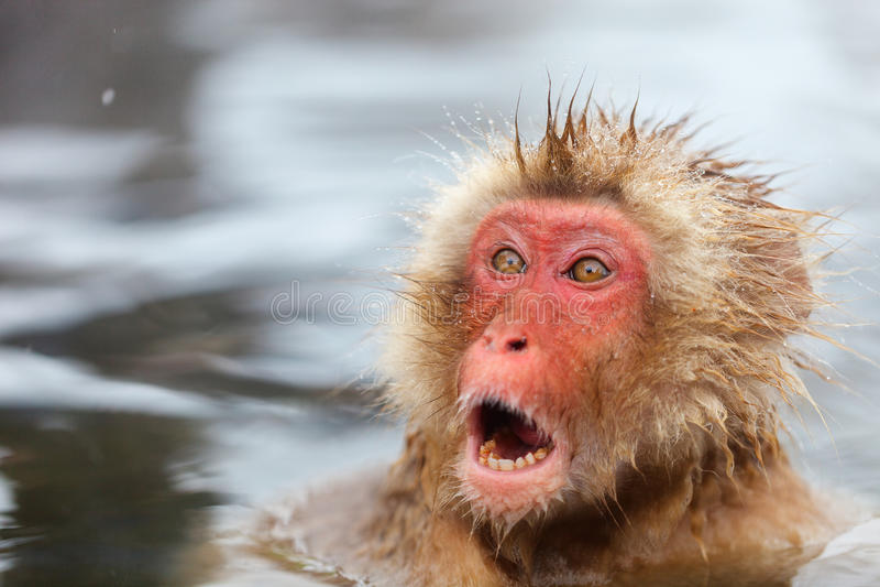 Snow Monkey. Japanese Macaques bathe in onsen hot springs at Nagano, Japan royalty free stock photography