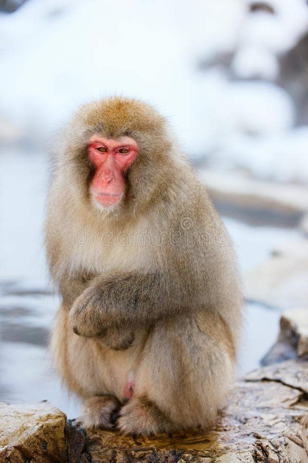 Snow Monkey. Japanese Macaques at onsen hot springs of Nagano, Japan stock photography