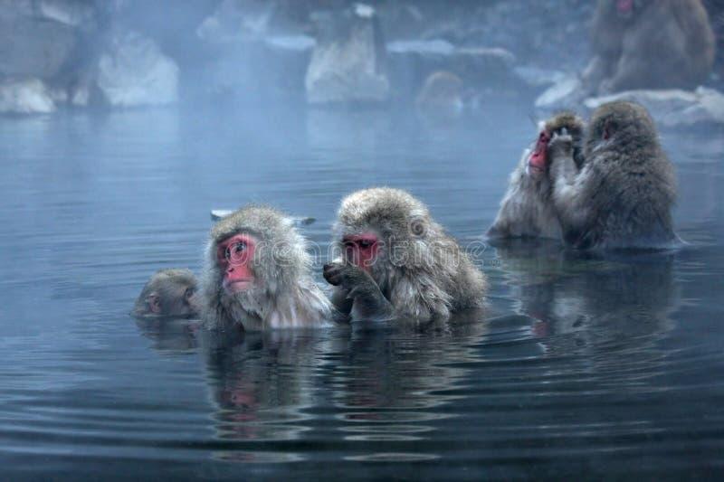 Snow Monkey at Jigokudani near stock photo