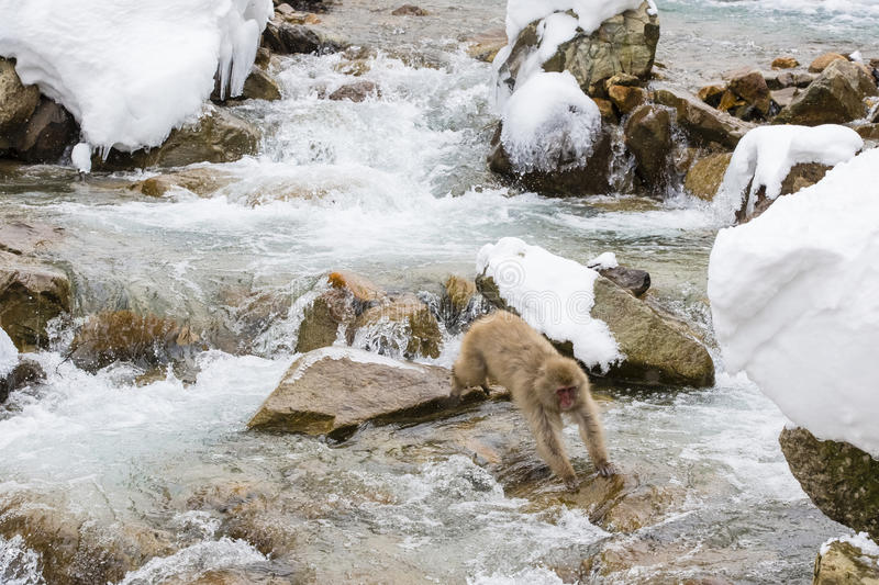 Snow Monkey Jumping over Water. A brown, fuzzy wild snow monkey jumping from rock to rock over rapids in winter by snow-covered rocks stock images