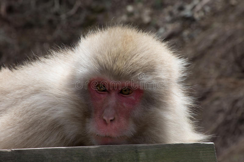Snow Monkey Looking Left. A resting snow monkey or Japanese macaque lying on a wood plank looking toward the left royalty free stock image