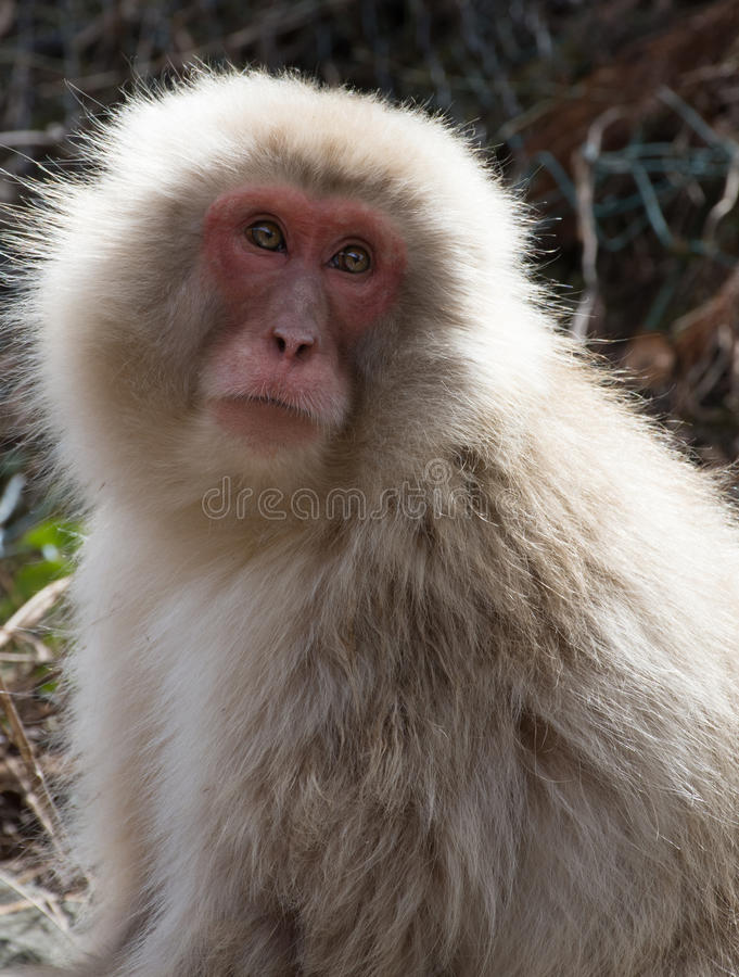 Snow Monkey Looking Up. Close up of a snow monkey or Japanese macaque looking up with sun shining on its back. Shallow depth of field stock images