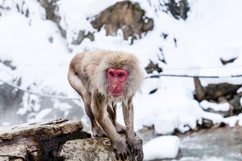 Snow monkey Macaca fuscata from Jigokudani Monkey Park in Japan, Nagano Prefecture. Cute Japanese macaque near hot spring royalty free stock photo