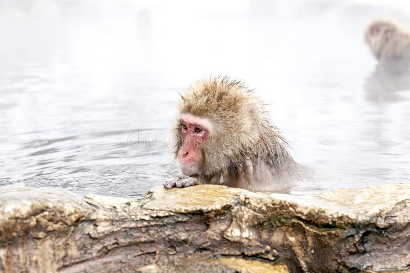 Snow monkey Macaca fuscata from Jigokudani Monkey Park in Japan, Nagano Prefecture. Cute Japanese macaque. Sitting in a hot spring stock photo
