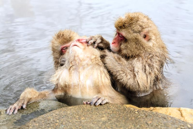 Snow monkey Macaca fuscata from Jigokudani Monkey Park in Japan, Nagano Prefecture. Cute Japanese macaque stock photo