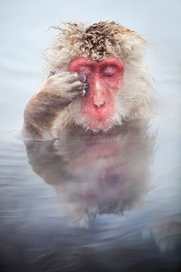 Snow Monkey. Male snow monkeys Japanese macaque bathe in onsen hot springs of Nagano, Japan stock photos